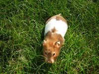 Hamster blanc et marron dans l'herbe