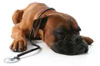 Chien couché avec un stétoscope autour du cou
