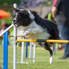 L'alimentation des chiens sportifs